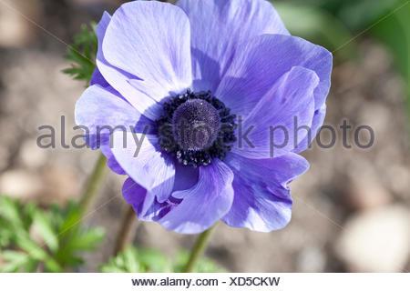 Poppy anemone, anemone coronaria, type anemone, - Stock Photo