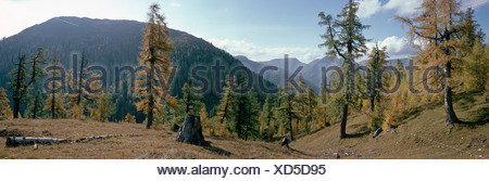 Larch Forest (Larix), autumn colours, Nockberge National Park, Carinthia, Austria, Europe - Stock Photo