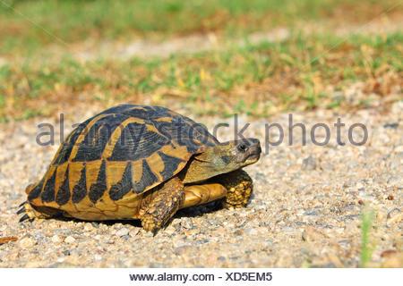 Hermann's tortoise, Greek tortoise (Testudo hermanni), walking tortoise, Greece, Lake Kerkini - Stock Photo