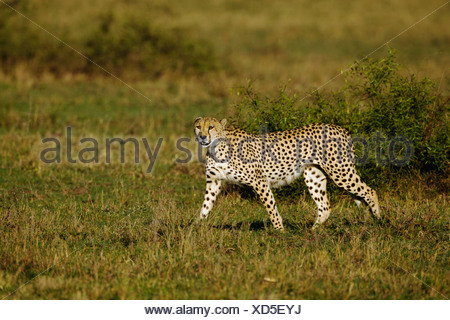 Cheetah (Acinonyx jubatus) searching for prey in the morning light - Stock Photo