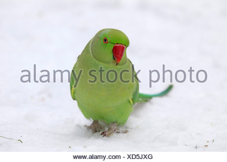 rose-ringed parakeet (Psittacula krameri), sitting in snow, Germany - Stock Photo