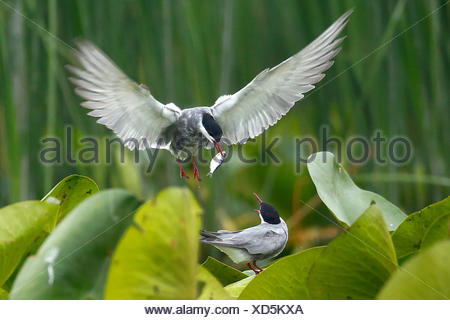 whiskered tern (Chlidonias hybrida), feeding a begging young bird with a fish, Romania, Danube Delta - Stock Photo