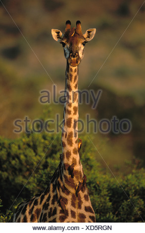 Giraffe (Giraffa camelopardalis), with Red-billed Oxpeckers (Buphagus erythrorhynchus), Kruger National Park, South Africa - Stock Photo
