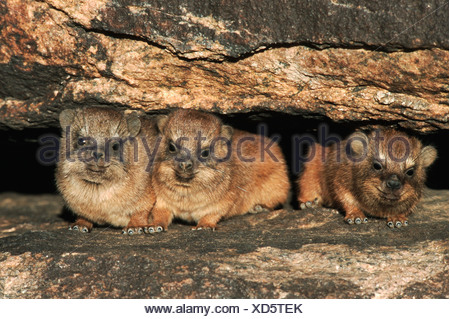 Cape Hyrax Rock Hyrax Procavia capensis young in rock crack Namibia Africa - Stock Photo