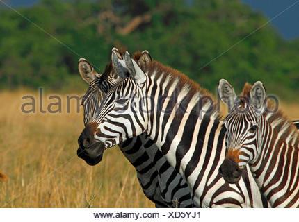 Boehm's zebra,  Grant's zebra (Equus quagga boehmi, Equus quagga granti), three zebras, portrait, Kenya, Masai Mara National Park - Stock Photo