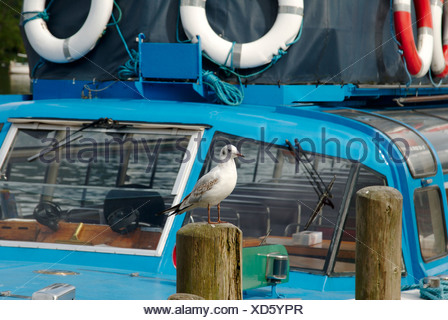 England, Cumbria, Windermere, Seagull sitting on wooden post with boat in background - Stock Photo