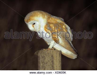 Barn Owl Tyto alba - Stock Photo