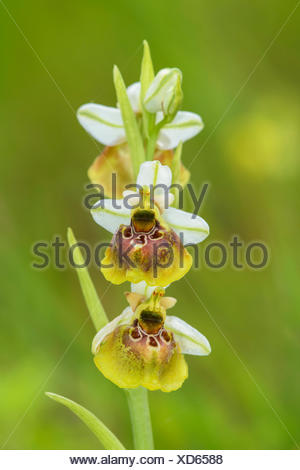 Late spider orchid (Ophrys holoserica), yellow morph, Lechauen, Bavaria, Germany - Stock Photo