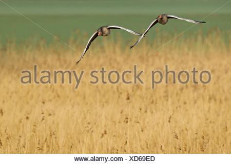 greylag goose (Anser anser), pair flying, Germany, Rhineland-Palatinate - Stock Photo