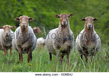 domestic sheep (Ovis ammon f. aries), herd in a meadow, Belgium, Namur - Stock Photo