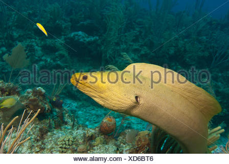 A green moray eel (Gymnothorax funebris) on a coral reef near San Pedro, Belize. - Stock Photo