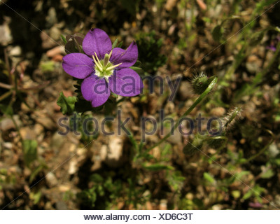 large venus's-looking-glass (Legousia speculum-veneris), blooming, Greece, Peloponnese - Stock Photo