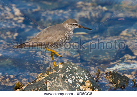 Wandering Tattler (Tringa incana) perched on a rock in Victoria, Vancouver Island, British Columbia, Canada - Stock Photo