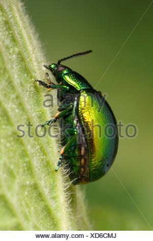 Mint leaf beetle (Chrysolina herbacea), on a leaf, Germany - Stock Photo