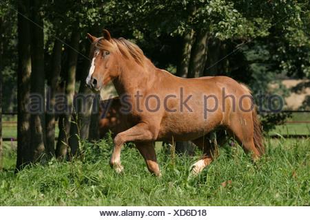 Pony auf der Weide / Pony  - Stock Photo