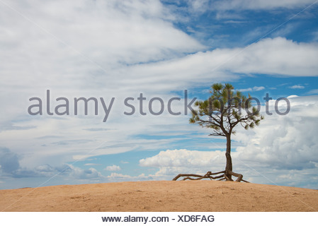 A single tree with aerial roots in a desert landscape, in the Bryce national park. - Stock Photo