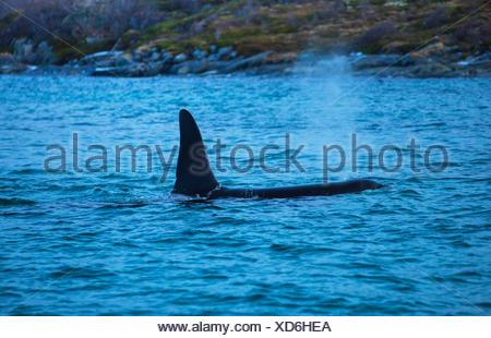 orca, great killer whale, grampus (Orcinus orca), male hunting herrings , Norway, Fylke Troms, Senja - Stock Photo