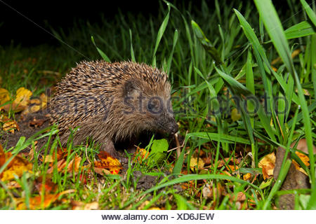 European Hedgehog (Erinaceus europaeus), Mecklenburg-Western Pomerania, Germany - Stock Photo