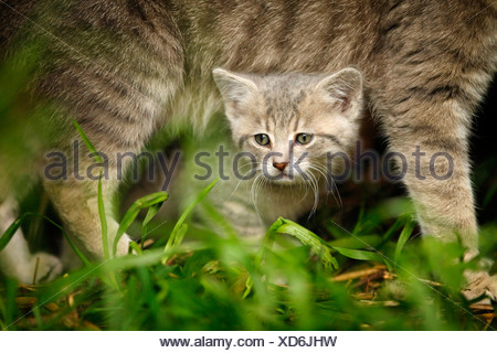 domestic cat, house cat (Felis silvestris f. catus), Kitten peering under the belly of its mother, Germany - Stock Photo