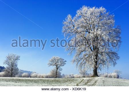 Hoarfrosted pedunculate oaks (Quercus robur), Sense district, Fribourg, Switzerland - Stock Photo