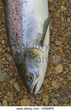 Atlantic salmon, ouananiche, lake Atlantic salmon, landlocked salmon, Sebago salmon (Salmo salar), smolt, portrait, Ireland, River Moy - Stock Photo