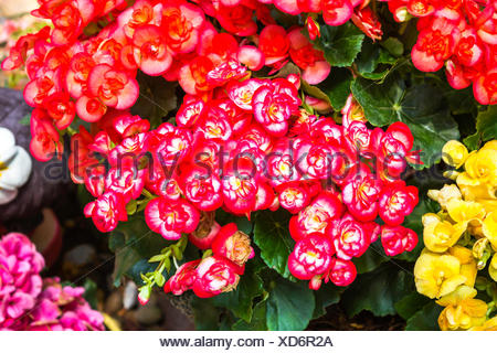 Colorful of red and yellow flowers - Stock Photo