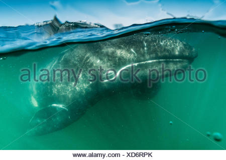 California gray whale calf, Eschrichtius robustus, in San Ignacio Lagoon. - Stock Photo