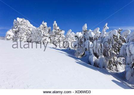 Norway spruce (Picea abies), snowcovered conifers at Niederhorn, Switzerland, Bernese Oberland - Stock Photo