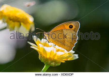 Meadow brown (Maniola jurtina, Epinephele jurtina), female on a flower, Germany, Bavaria - Stock Photo