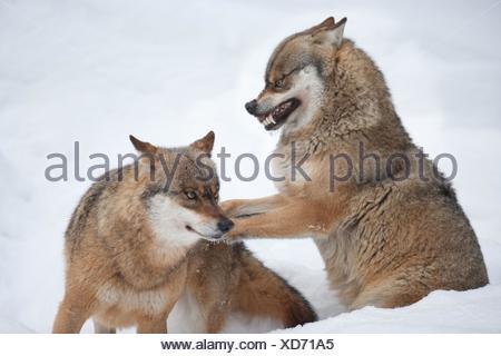 greywolfes - Stock Photo