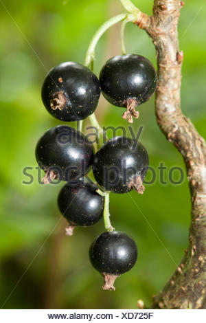 Black currants (Ribes nigrum) on the bush, garden, Dortmund, North Rhine-Westphalia - Stock Photo