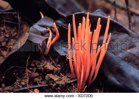 Orange Noodle fungus. Class: Homobasidiomycetes. Series: Hymenomycetes. Order: Aphyllophorales.,This fungus is about 3 cm - Stock Photo