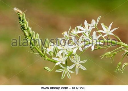 Narbonne Star of Bethlehem, Southern Star of Bethlehem or Pyramidal Star of Bethlehem (Ornithogalum narbonense), Provence, Sout - Stock Photo