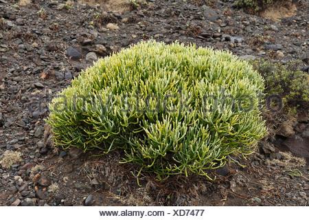 Leafless Spurge (Euphorbia aphylla), La Gomera, Canary Islands, Spain, Europe - Stock Photo