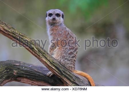suricate, slender-tailed meerkat (Suricata suricatta), sitting on a twig - Stock Photo