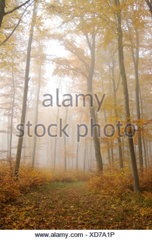 common beech (Fagus sylvatica), forest path beech forest in autumn fog, Germany, Baden-Wuerttemberg - Stock Photo