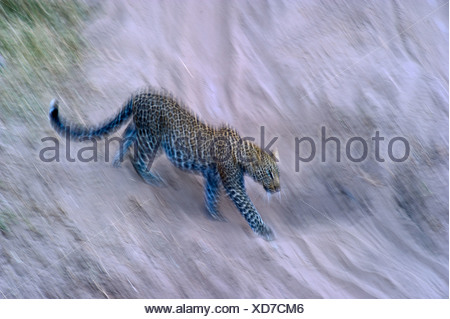 Leopard Panthera pardus Masai Mara Kenya - Stock Photo