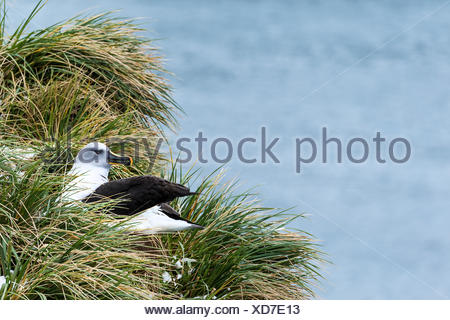 Black-browed albatross (Thalassarche melanophris) nesting; South Georgia, South Georgia and the South Sandwich Islands, United Kingdom - Stock Photo