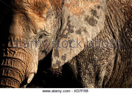 African elephant portrait, Cabarceno, Spain - Stock Photo