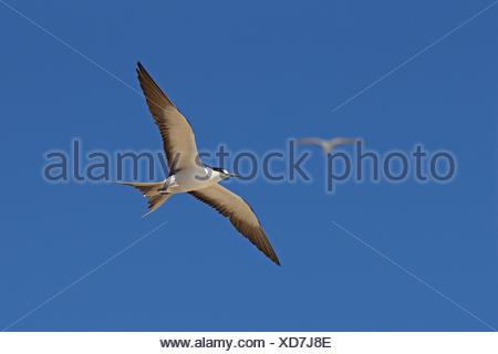 sooty tern (Sterna fuscata), flying, Seychelles, Bird Island - Stock Photo