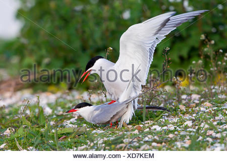 Common Terns (Sterna hirundo), mating, Texel, North Holland, The Netherlands - Stock Photo