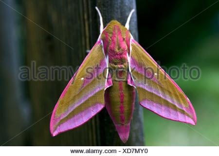 Elephant Hawk-moth (Deilephila elpenor) just after the hatch - Stock Photo