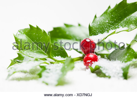 USA, Illinois, Metamora, Studio shot of holly covered with snow - Stock Photo