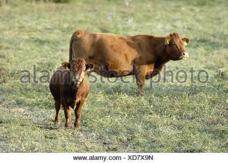 kalb+kuh - calf+cow - Stock Photo