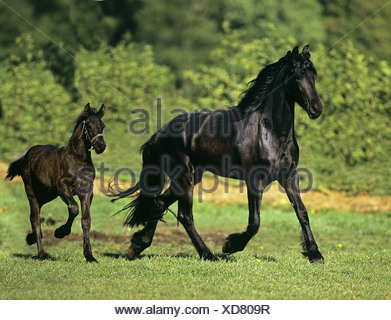 Friesian horse with foal on meadow - Stock Photo