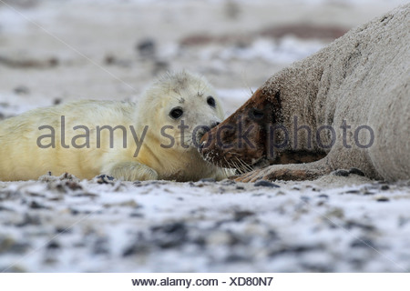 gray seal with pup - Stock Photo