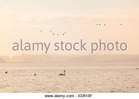 Swans and other birds on the Baltic Sea, sunrise, - Stock Photo