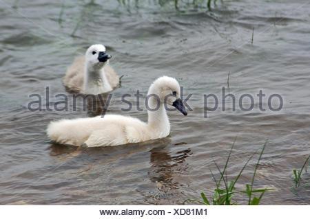 waters bird rhine swans swan birds soft beak breeding offspring feathering - Stock Photo