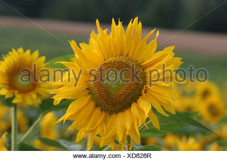 Leipzig, Germany, Sunflower in a field of sunflowers - Stock Photo