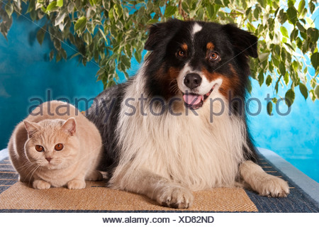 Australian Shepherd and British Shorthair cat - Stock Photo